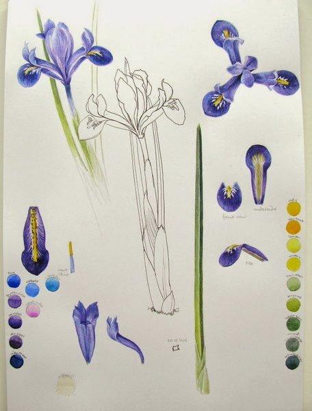 Iris reticulata studies
